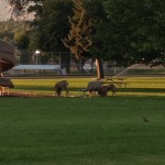 The Gang of Deer, really there was like 15 of them, all at the park