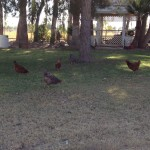 Some of the chickens at the Bogle Haus