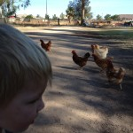 Whitman and I left the swing to feed the chickens, we fed them good seeds, and then tried to chase them